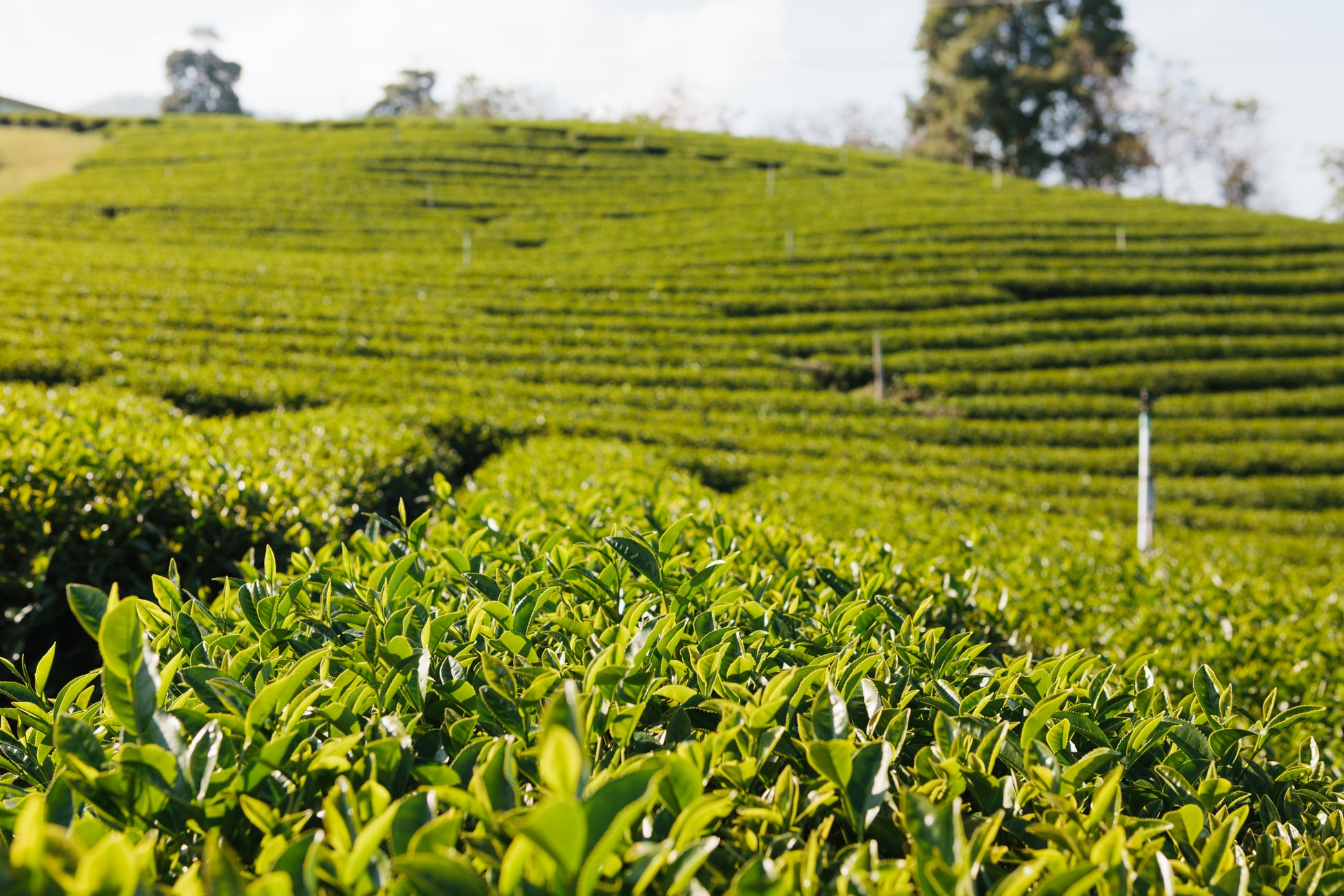 Amazing things you don't know about African Tea