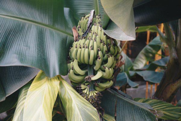 wholesale banana exporter